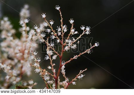 Japanese Knotweed Flowers. Polygonaceae Perennial Plants. white Flowers Bloom From Summer To Autumn,
