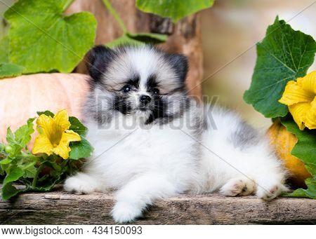 Purebred Spitz breed pomeranian; small fluffy white black dog puppy