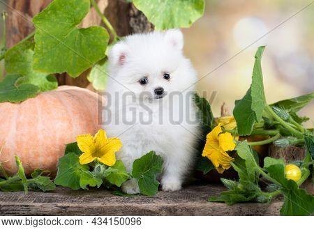 Purebred Spitz breed pomeranian; small fluffy white dog