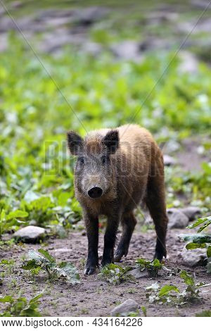 The Wild Boar (sus Scrofa), Also Known As The Wild Swine Or Eurasian Wild Pig, Young Piglet At The E