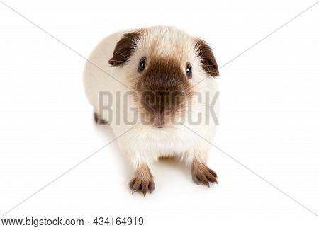 Cute Guinea Pig, One Year Old, Lying Against White Background
