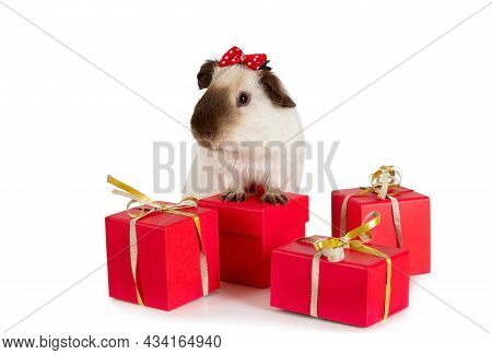 Adorable Guinea Pig With Holiday Gifts Isolated On A White Background