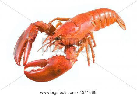 A large red lobster over white background poster