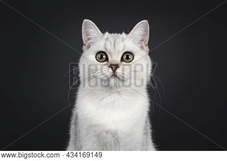 Head Shot Of Cute Silver Shaded British Shorthair Cat Kitten, Sitting Facing Front. Looking Towards