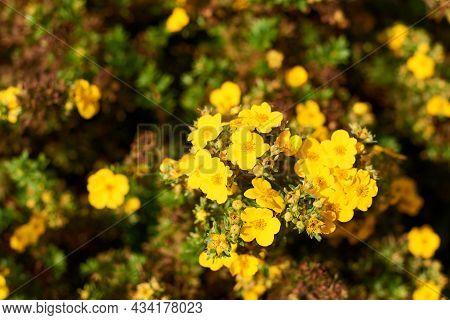Dasiphora Shrub, Dasiphora Fruticosa, Or Kuril Tea, Shrub Cinquefoil. Floral Natural Background