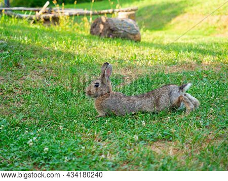 Close-up Of A Beautiful Cute Rabbit Lying On The Green Grass In Summer. Blurred Background, Side Vie