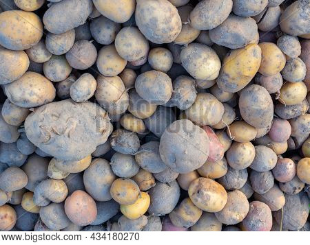 Close-up Of Potatoes Dug Out Of The Ground Lies Dirty During The Day. Top View, Flat Lay. The Concep