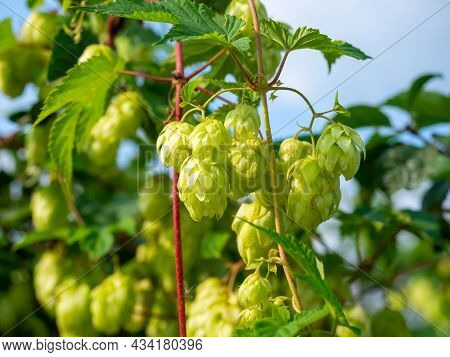 Close-up Of Green Hop Cones On A Branch. A Plant Used For Brewing Beer.