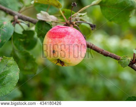 Close-up Of A Ripe Apple Of The Strefel Variety On A Branch. Autumn Harvest