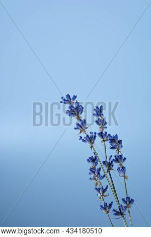 Dry Lavender Flowers On A Blue Background, Vertical Photo In Cold Colors.