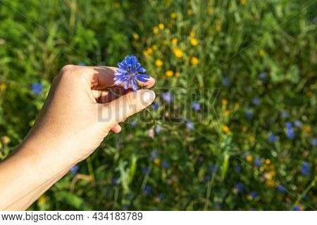 Hand Of Caucasian Woman With Blue Flower Of Chicory Plant. The Roots Of This Wildflower Is Used To M