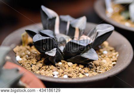 Haworthia ,haworthia Truncata Or Cactus Or Succulent In The Flower Pot