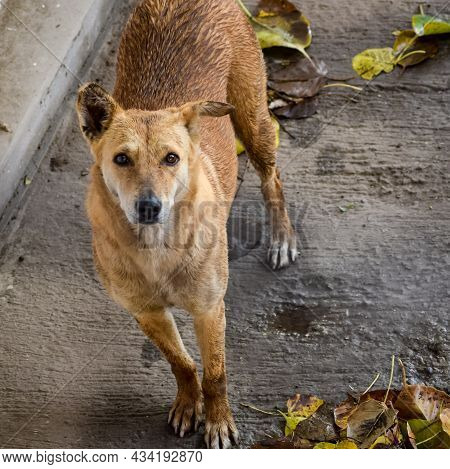 Street Dog Searching For Some Amazing Food, Dog In Old Delhi Area Chandni Chowk In New Delhi, India,