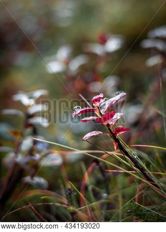 Water Drops On Red Cowberry Leaves And Grass Blades. Autumnal Colours. Background With Copyspace.