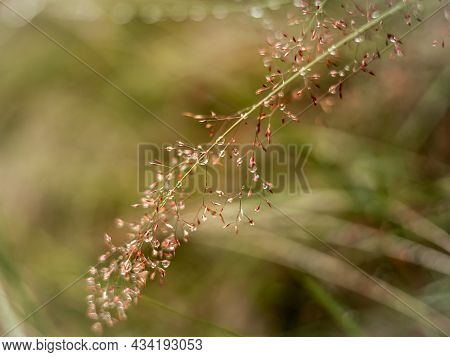 Water Drops On A Smooth Meadow-grass (poa Pratensis) Flower Head. Autumnal Colours.