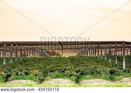 Ginseng Grown In Marathon County, Wisconsin, Usa In September, Horizontal