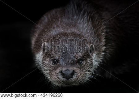 Head Muzzle Otter Looks At You Full Face Close-up Isolated Black Background, Mustache, Manhole With