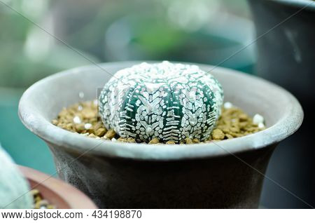 Astrophy, Astrophy Kabuta Or Astrophy Asterias Miracle Kabuta Or Cactus In The Flower Pot