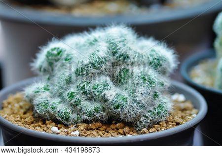 Mammillaria Pilcayensis Cristata, Mammillaria Or Cactus Plant