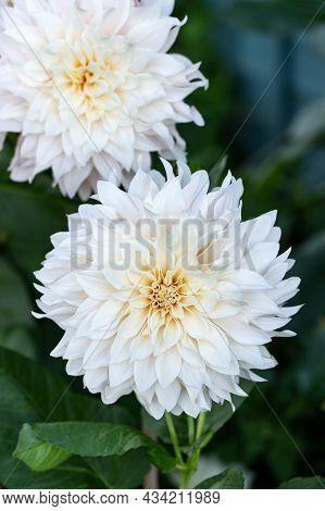 Dahlia Cafe Au Lait Flower Plant Growing In Summer Cottage Garden