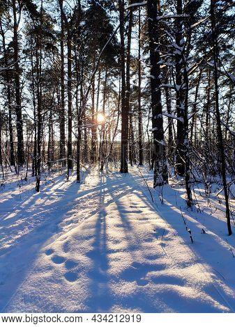 Sunset In Snowy Winter Fir Forest. Sun's Rays Break Through The Trunks Of Trees.