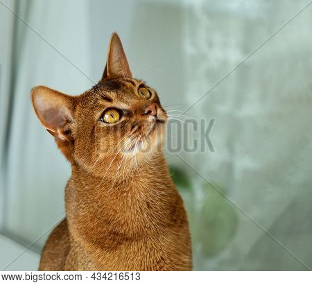 Abyssinian Cat At Home. Beautiful Purebred Short-haired Young Cat Looks Up Curiously. Domestic Cat O