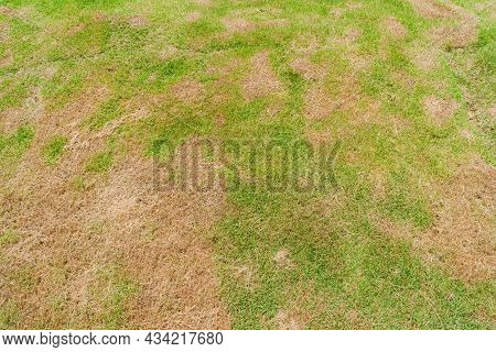 A Patch Is Caused By The Destruction Of Fungus Rhizoctonia Solani Grass Leaf Change From Green To De
