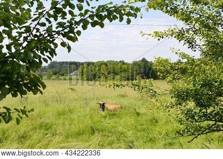 Beautiful Big Milk Cow Grazes On Green Meadow
