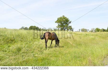 Beautiful Wild Brown Horse Stallion On Summer Flower Meadow