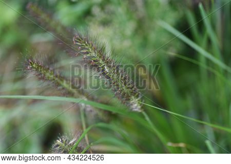 Dwarf Fountain Grass Spikes. Poaceae Perennial Grass. It Is A Weed Often Seen On The Roadside And Fe