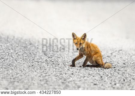Closeup Portrait Of Red Fox Cub (vulpes Vulpes) Sitting On A Road In The Bombay Hook National Wildli