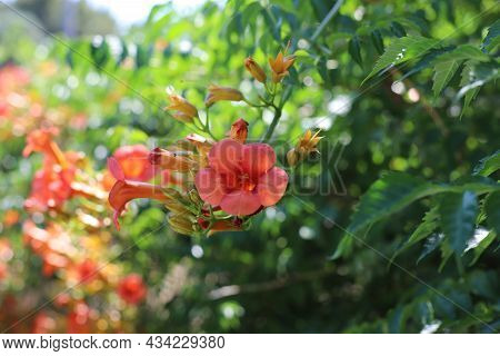 Flowers Of Trumpet Vine Or Trumpet Creeper, Cow Itch Vine, Hummingbird Vine (campsis Radicans), Gree