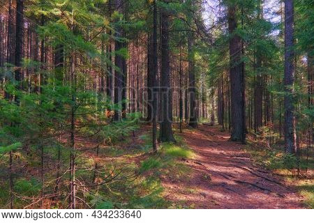 Magical Evening Forest. Landscape In A Coniferous Forest At Sunset.