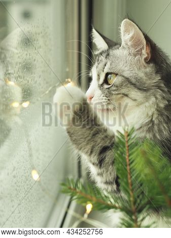 Cat And Christmas Lights. Portrait Beautiful Funny Gray Cat Playing With Lights. Cozy Christmas. Bea