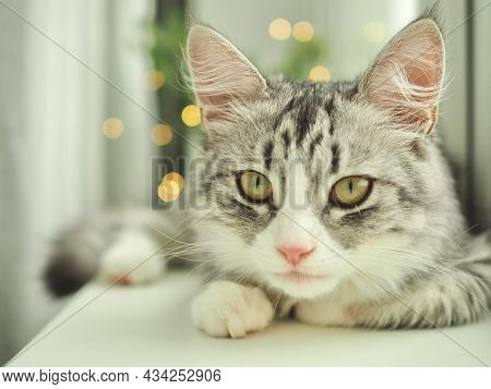 Christmas Cat. Close-up Portrait Beautiful Gray Fluffy Domestic Cat With Yellow Eyes On Christmas Li