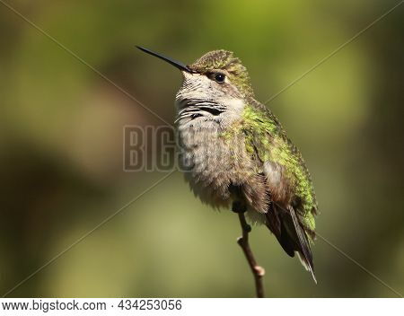 Green Hummingbird Perched On A Thin Twig Looking About The Forest