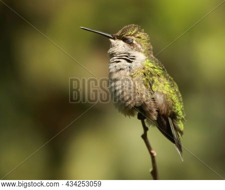 Green Hummingbird Perched On A Thin Twig Resting Sleeping Eyes Closed With A Blurred Green Backgroun