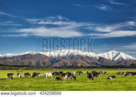 Landscape with snowy mountains and grazing cows, New Zealand