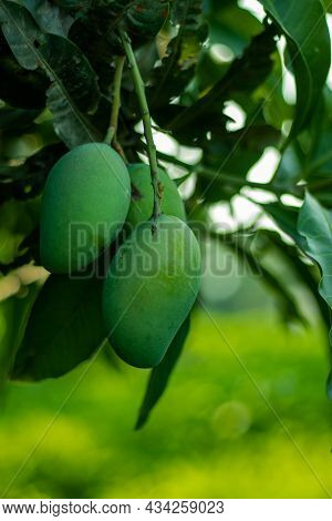 Green Mangoes Are Rich In Vitamin C, Vitamin A, Vitamin B6, And Vitamin K. It Is Also A Vital Source