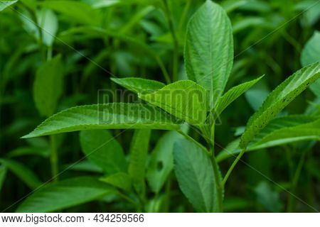Jew's Mallow Leaf, Jute Mallow, Krinkrin, Tossa Jute, Bush Okra, West African Sorrel, Jute Potager