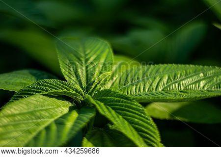 Jute Leaf Mallow, Saluyot, Jew's Mallow, Egyptian Spinach, Melokhiya, Molokhia, Mulukhiyah