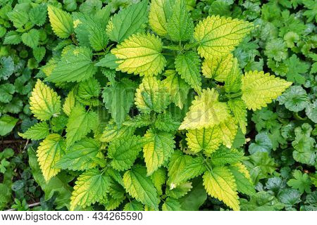 Bush Of Nettle With Young Shoots And Green Yellow Leaves Among The Other Plants, Top View