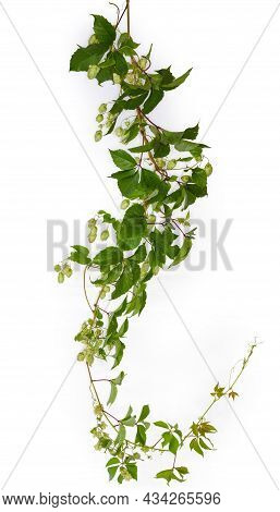 Intertwined Branches Of Hop With Seed Cones And Green Leaves Hanging Down On A White Background, Pan