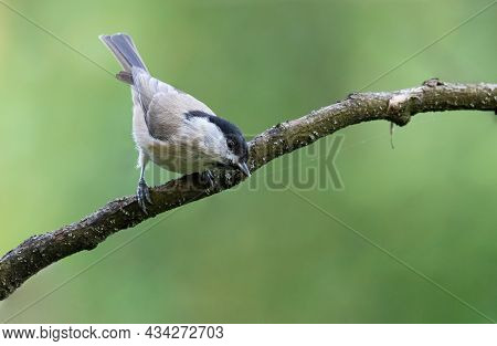 Marsh Tit, Poecile Palustris. Morning In The Forest, A Very Mobile Little Bird For A Moment Sat On A