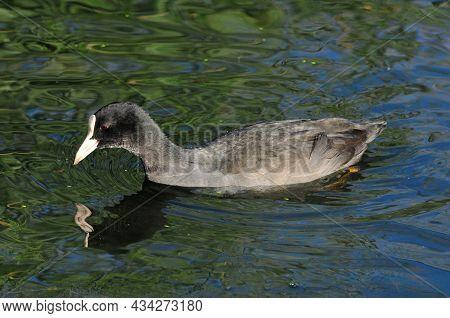 Eurasian Coot, Bird - A Small Waterfowl. Rail Bird. Young Bird.