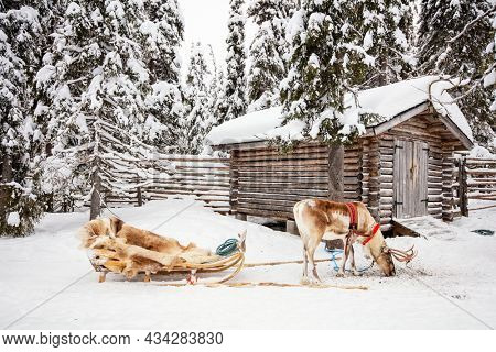 Reindeer next to wooden log cabin in a winter forest in Finnish Lapland
