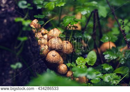 Toadstool Mushrooms On Shrub. Poisonous Mushrooms, Close Up. Forest Mushroom Grebe In Forest. Nature