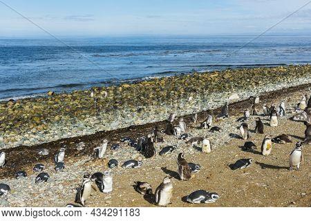 Many wild Magellanic penguins (Spheniscus Magellanicus) on a coast of Magdalena island, Chile