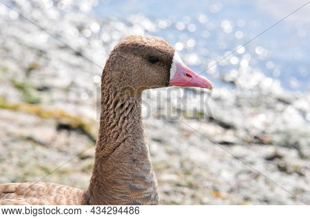 The Greater White-fronted Goose (anser Albifrons) Is A Species Of Goose Related To The Smaller Lesse