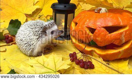 Halloween Jack Pumpkin And Little Hedgehog On Autumn Leaves
